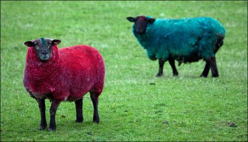 sheep2b