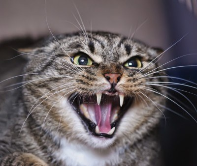 13734580-angry-cat-hissing-aggressive