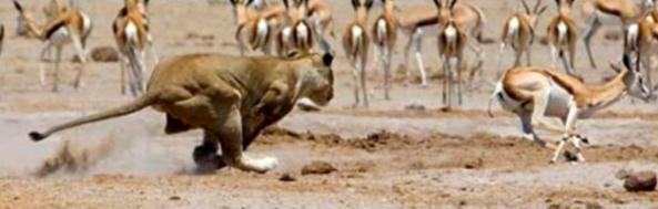 lion gazelle contrast_00000