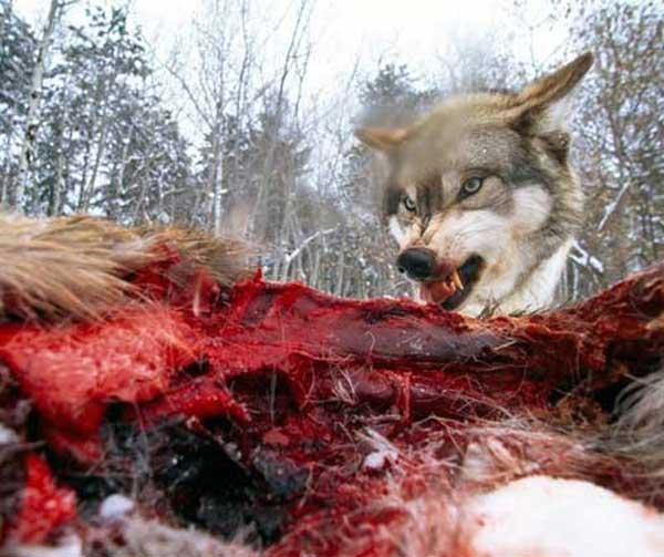 wolf_eating