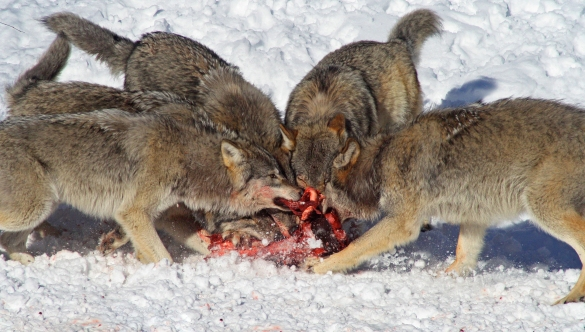 wolves-eating