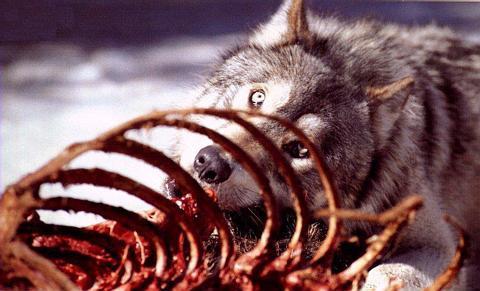 wolf_eating b