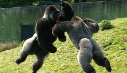 gorilas002