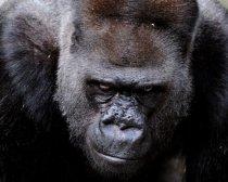 gorilla alpha 2
