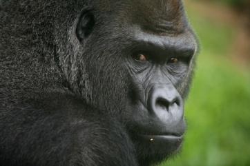 gorilla-alpha1