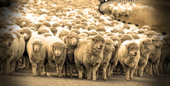 ovejas y lobos_00000