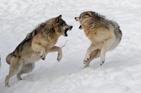 wolffight