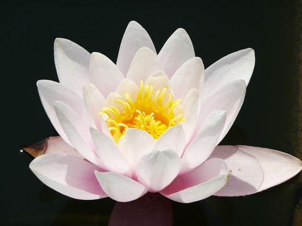karma lotus oriental