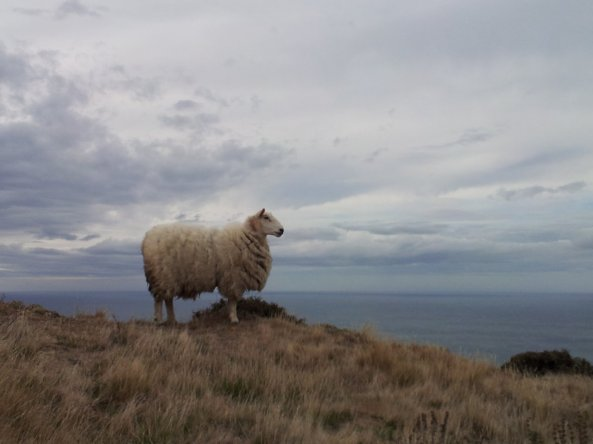 lone_sheep_overlooking_the_ocean_by_uberpicklemonkey-d4qg5w0