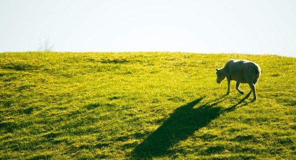 lonely_sheep_by_ksouthv2-d41nv9e