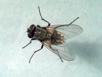 mosca_comun