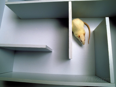 Image result for rat in maze