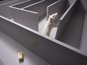 Rat-in-maze