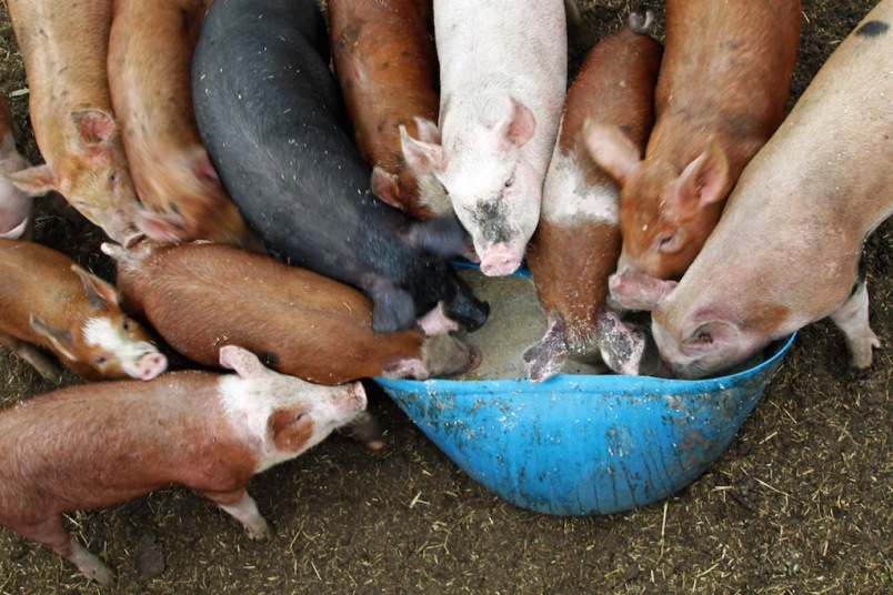 pigs-feeding-at-trough