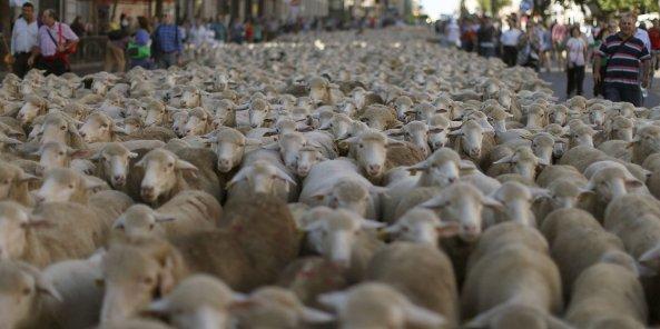 2.000 ovejas merinas recorren el centro de la capital