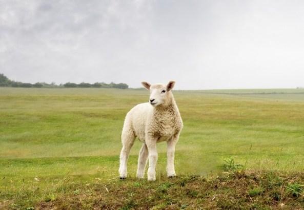Lost-Sheep-750-05182015