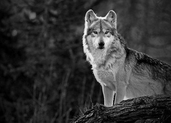 work.4249486.1.flat,550x550,075,f.lone-wolf